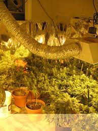 proper lights for growing weed legal marijuana grows growing a problem