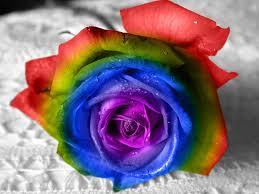 colorful roses flowers rainbow colorful roses flower desktop images for hd