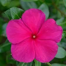 Vinca Flower Information - vinca annual costa farms