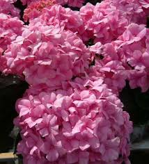 pink hydrangea untitled document