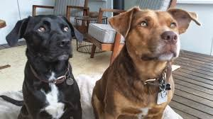 resume template accounting australian kelpie dog temperament by breed cross lab staffie kelpie the ditzy sweet izz and her pal amber