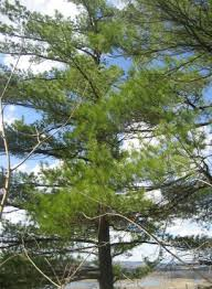 white pine tree web page