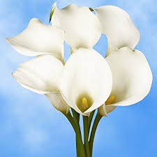 cala lillies globalrose 18 fresh open cut white calla lilies