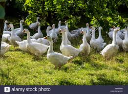 outdoor life geese in a meadow outdoor life on a farm open range free range