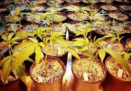 in door plant put in pot vide how to legally invest in pot companies