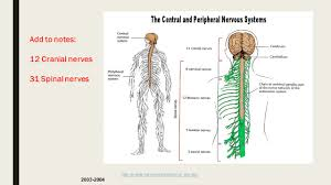 Cranial Nerves Worksheet Opening Assignment 1 What Are 2 Functions Of The Nervous System 2