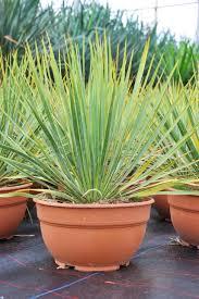 Yucca Wohnzimmer Palmlilie De Ihr Palmlilie Shop