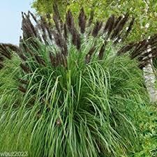 cheap black ornamental grass find black ornamental grass deals on