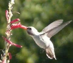 Hummingbird On A Flower - penstemons for california gardens