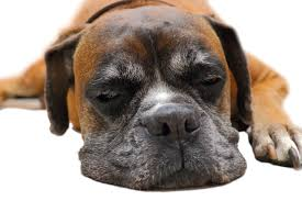 boxer dog upset stomach fat boxer dog choose a top 5 food for boxers 2017 review