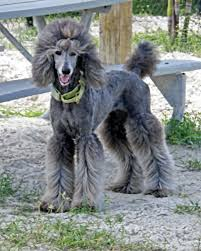 different styles of hair cuts for poodles image result for types of standard poodle cuts poodles standard