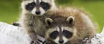 Kansas wild animals images Kansas wildlife federation jpg