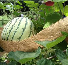 Growing Melons On A Trellis Growing Watermelons Vertically On A Chicken Coop As A Trellis