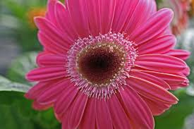daisy valentine heart flower flowers free nature pictures by