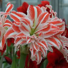 amaryllis 24 26 1 flower bulb home