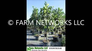 native plant nursery fort myers clusia rosea plants nursery 786 255 2832 we deliver youtube