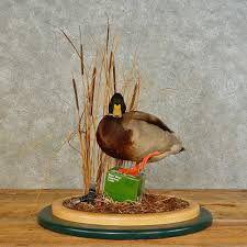 mallard duck drake bird mount for sale 16493 the taxidermy store