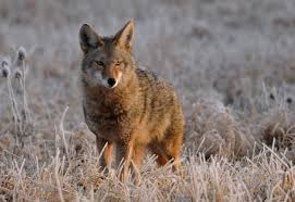 Arkansas wildlife images Coyote life and wildlife along the little buffalo river jpg
