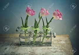 three beautiful pastel colored pink tulips in glass vases and