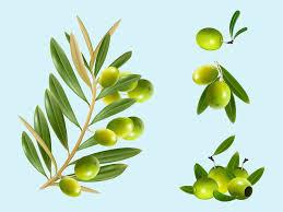 olive tree wallpaper vector 3d 20 wallpapers u2013 wallpapers 4k