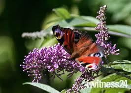 iwitness24 iwitness community butterfly on a buddleia