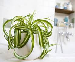 plante d駱olluante chambre une plante anti tabac et depolluante le chlorophytum
