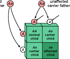 inheritance pattern quizlet inheritance of human disorders