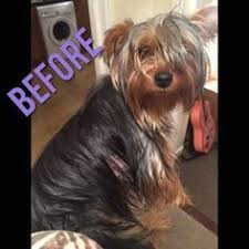 before and after yorkshire terriers short hair cut sheila patterson sheilaspencer34 on pinterest