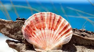 beautiful seashell wallpaper 25190 1920x1080 px hdwallsource com
