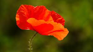 free stock photo of flower poppy red