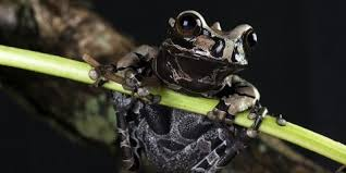 coronated tree frog smithsonian s national zoo