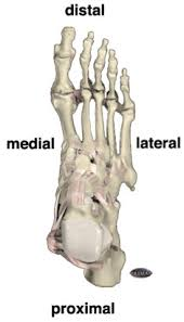 Skeletal Picture Of Foot Foot Biomechanics Images Of Supination And Pronation