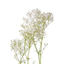 babys breath baby s breath flower muse