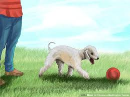 grooming a bedlington terrier puppy how to choose a bedlington terrier 11 steps with pictures