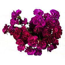 purple carnations carnations sam s club