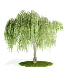 3d model willow weeping willow tree cgtrader