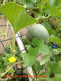 melon trellis the fervent gardener