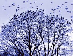 winter swarm in waterville a spectacle of nature