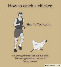 How To Meme - chicken meme how to catch a chicken you can t graphic golfian com