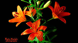 lily flower blossom time lapse hd youtube
