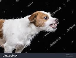 australian shepherd jack russell terrier angry jack russell terrier stock photo 402592114 shutterstock