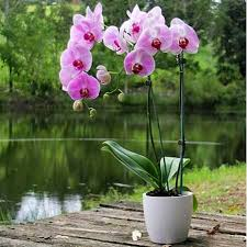 orchid plants orchid sydney only