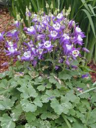columbine plant hybrid columbine umass amherst greenhouse crops and floriculture