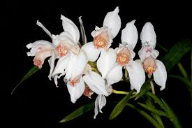 orchids pictures brookside orchids retail wholesale hybrids and species