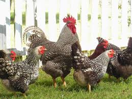backyard chickens for eggs