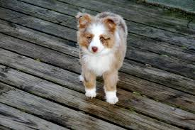7 month old australian shepherd puppy miniature australian shepherd 11 weeks fried pink tomato