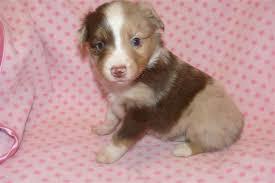 australian shepherd puppies 4 weeks kicks and giggles mini aussies quailty breeder of miniature and