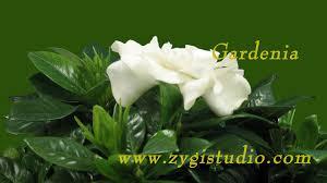 Gardenia Flower Time Lapse Of Opening Gardenia Flower With Alpha Youtube