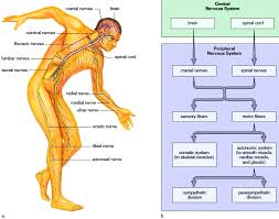 human nervous system beginner u0027s guide