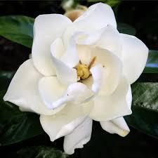 Gardenia Flower Gardenia Hashtag On Twitter